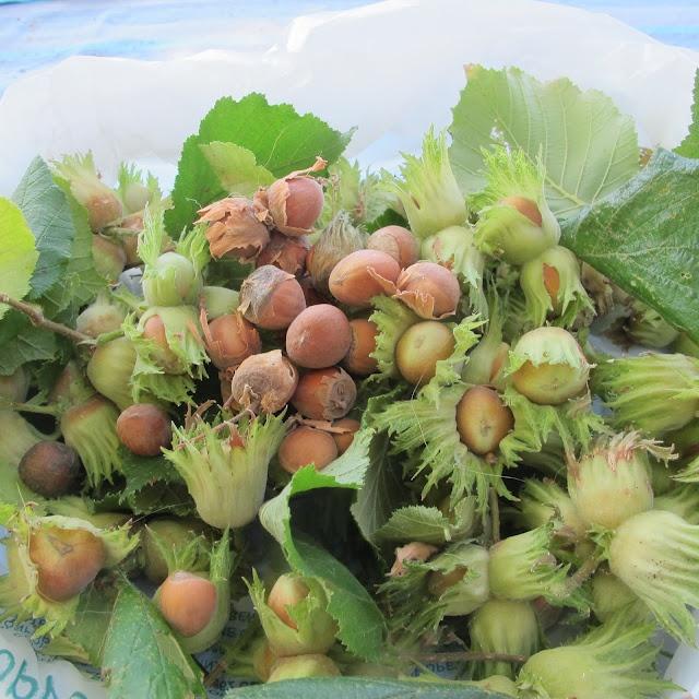 Hazelnuts fresh from the tree.
