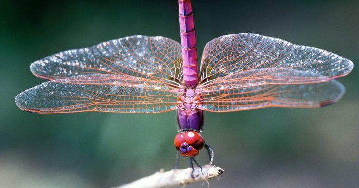 Especies de libélulas. Las libélulas son insectos alados muy adaptados que se encuentran en todo el mundo. Las libélulas normalmente tienen dos pares de alas que aletean a independiente, que les da un control preciso sobre sus movimientos. Se alimentan exclusivamente de insectos más pequeños y gran parte de su vida adulta transcurre cazando cuerpos de agua. Hay varias ...