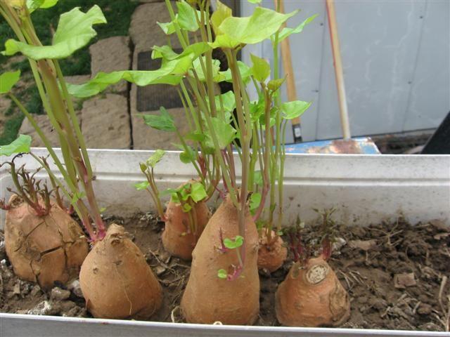 Wachsende Süßkartoffel-Slips