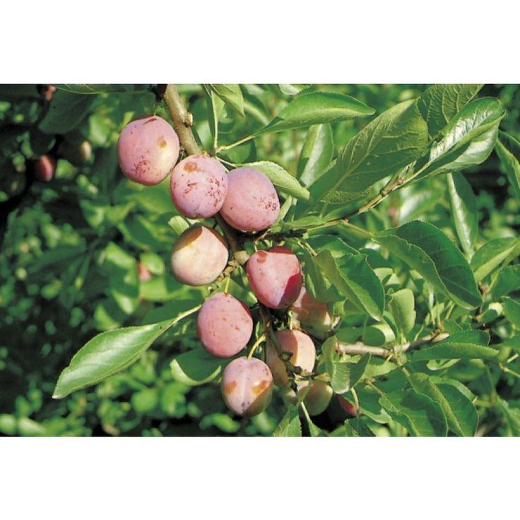 Middels stort tre med middels store, rødfiolette plommer med fast og lysegult fruktkjøtt. Svært god smak og syrlig aroma. Tynning av karten for bedre fruktkvalitet og størrelse, anbefales i slutten av juni. Plantes i veldrenert, jevnt fuktig og n ...