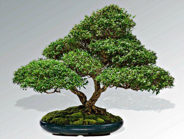 Serissa bonsai created by David VanBuskirk, types of bonsai trees