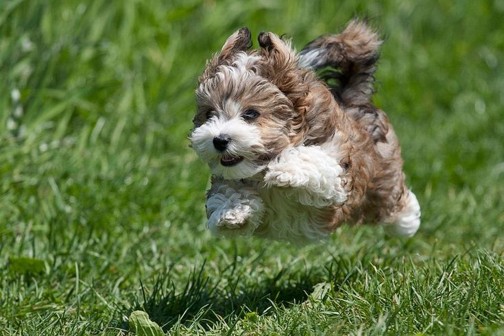 Flying+Havanese+Puppy.jpg 1,024×683 pixels