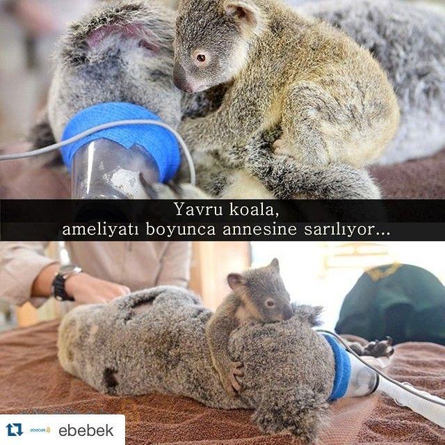 yavru koala ile ilgili görsel sonucu