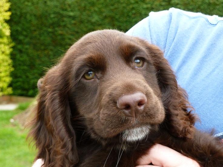 Barney. Half Springer Spaniel, half Labrador. Springador. Adorable