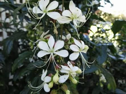 Image result for clerodendrum