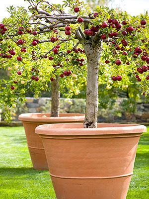 Grow Apples...If you have large containers (at least 4-5 feet in diameter), you can grow apples in pots. Choose dwarf varieties, which won't become too large for the containers. Fill the pots with a high-quality potting mix. It's best not to use garden soil as it doesn't drain well in containers. Keep container-grown apple trees watered well. Fertilize your apples with a general-purpose timed-release plant food each spring to ensure the tree has enough nutrients to bear a healthy crop of…