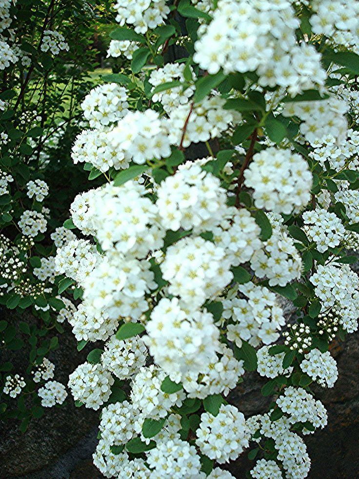17 best images about flowering shrubs and decidous shrubs for White flowering bush