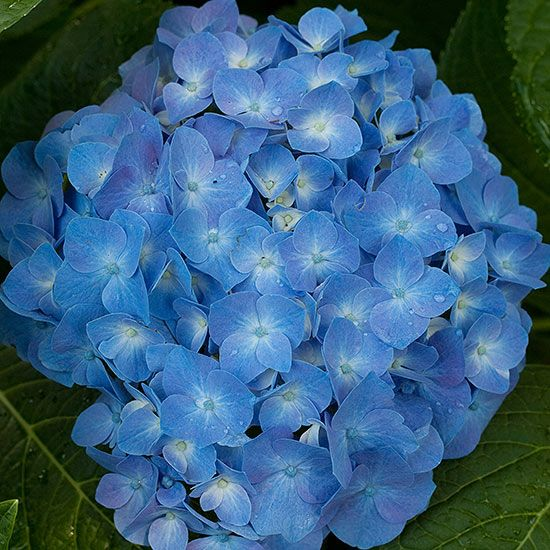 Let's Dance Blue Jangles Hydrangea