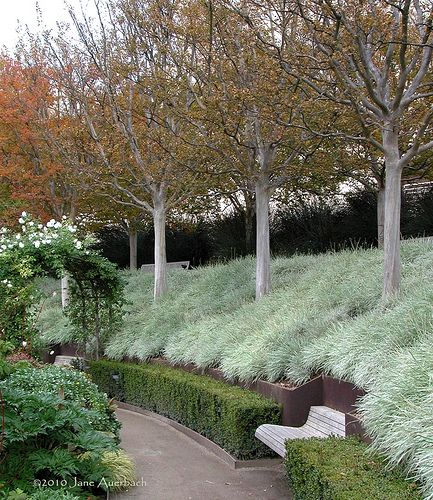 carex:    The Central Garden at the Getty Center in Los Angeles. Tulbaghia violacea 'Silver Lace' (Variegated Society Garlic) under Crape Myrtles in the fall. Landscape design by Robert Irwin. Photo by Jane Auerbacher.   remash:    landscapehorticulture:  in the central garden ~ nowhereonearth | jane auerbach