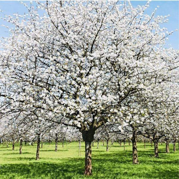 Yoshino Tree Yoshino Flowering Cherry Blossom Trees Yoshino Cherry Flowering Trees Yoshino Cherry Tree