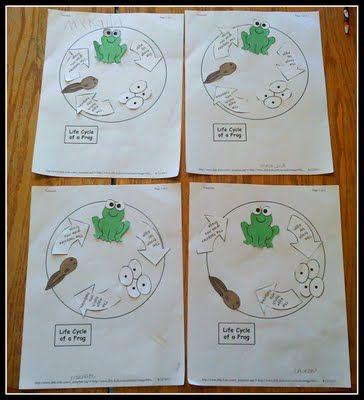 amphibian:  Frog Life Cycle