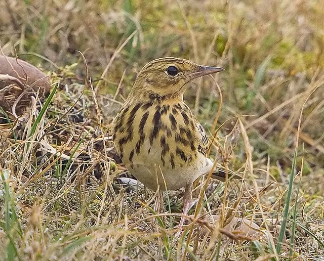 Anthus trivialis Tree pipit