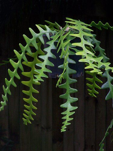 Amazon.com : Epiphyllum Anguliger Fishbone Succulent Zig Zag Cactus Hanging Plant Rare Seeds : Patio, Lawn