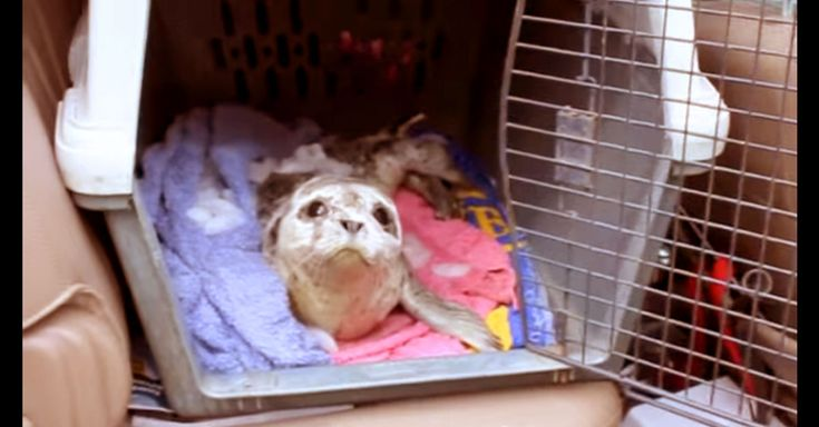 A Beached Baby Seal Was Near Death Until These Amazing People Saved His Life! | The Animal Rescue Site Blog