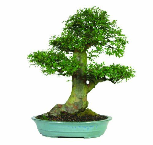 Brussel's Chinese Elm Specimen Bonsai, Age: 35 Yrs; Height - 31-Inch, ST8152CE-B by Brussel's Bonsai. $1953.38. Age: 35 Yrs; Height - 31-inch. Large trunk with strong branches. Chinese Elms small leaves make them perfect for bonsai. Sculpted pads of foliage. Ulmus parvifolia. This Chinese Elm has a very nice root base and good tight branching. The intricate twigging and small leaves make this elm an interesting specimen.. Save 10% Off!