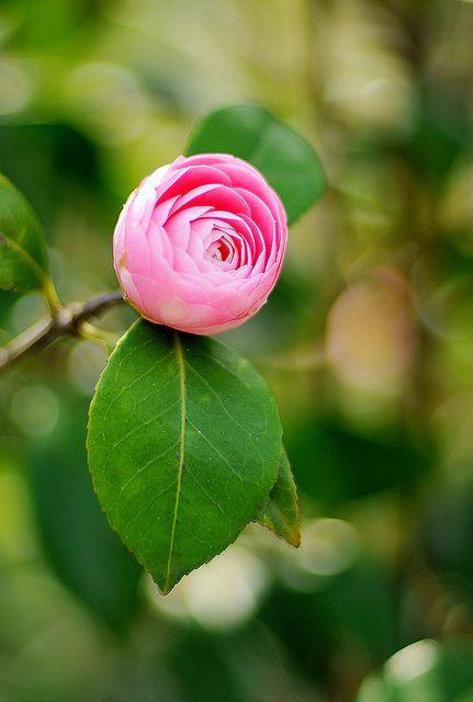 Camellia 山茶花 茶花 by teresachin2007, via Flickr