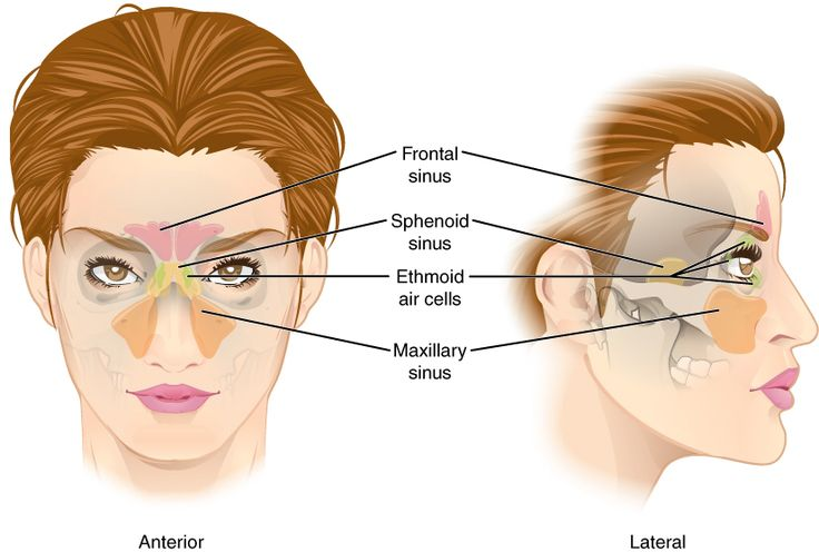 anatomy skull diagram top how a water softener works paranasal sinuses : four pair of air cavities found in ethmoid & sphenoid frontal maxillary ...
