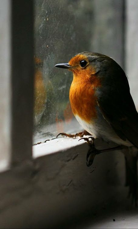 Beautiful Robin