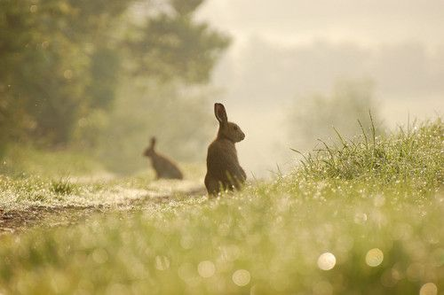 Two hares,