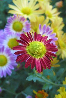 Chrysanthemum Indicum Korean Mixed Cut Flower Seeds