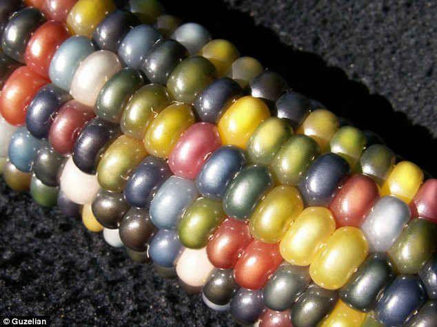 宝石のようなこのトウモロコシ「グラス・ジェム・コーン」は、ネイティブアメリカンの農家によって開発されました。遺伝子組み換えではなく、品種改良によってこの鮮やかな色を実現しているとのこと。茹でるとさらに色鮮やかになり、ちゃ […]