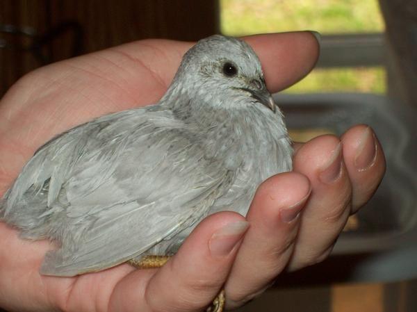 17 Best images about button quail on Pinterest | Quails ...