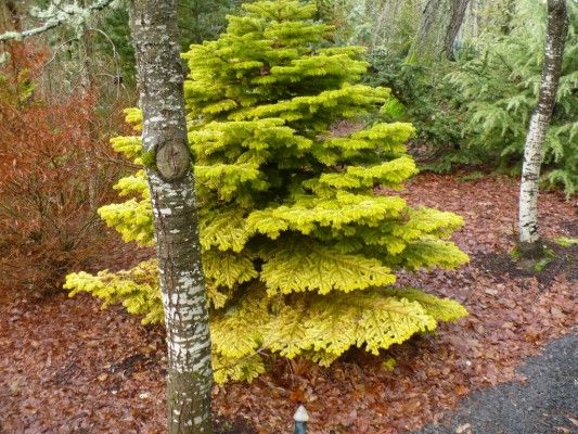 <em>Abies nordmanniana</em> 'Golden Spreader' photographed at Coenosium Gardens in Eatonville, WA | Photo by Will Fletcher