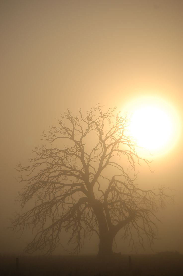 My favourite tree lurking in the fog with the sun doing it's level best to get through the fog