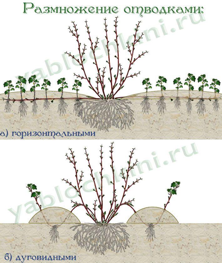 размножение-отводками-2