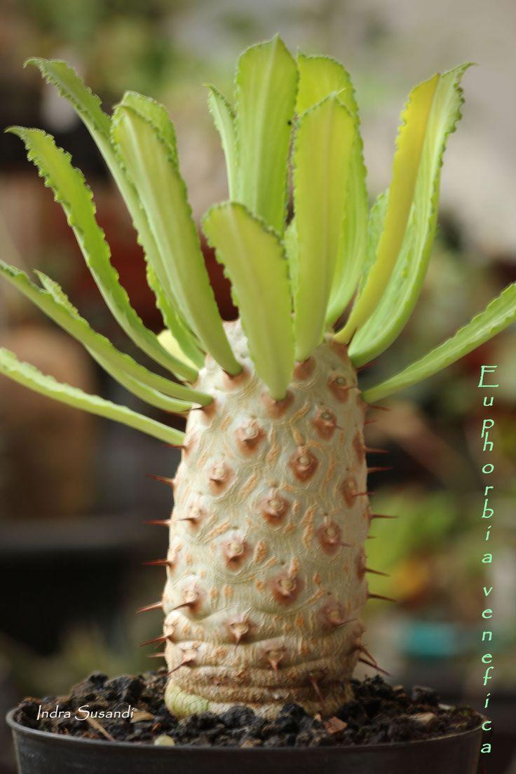 Euphorbia venefica