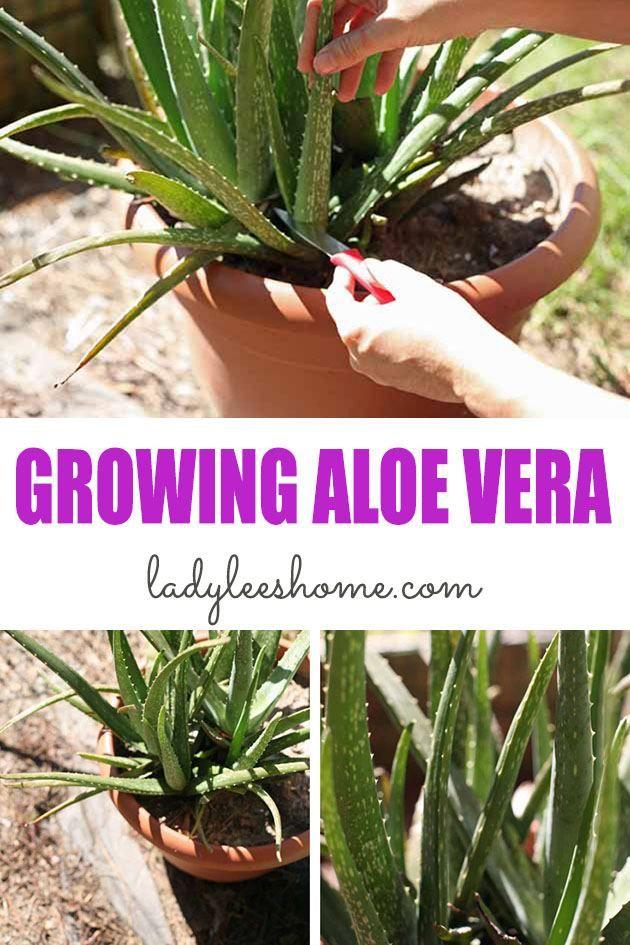 How To Take Care Of Aloe Vera Growing Aloe Vera In 2020 Growing Aloe Vera Aloe Plant Aloe Vera Plant