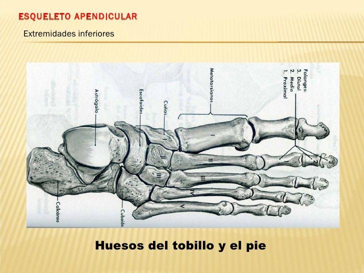 ESQUELETO APENDICULAR Extremidades inferiores Huesos del tobillo y el pie