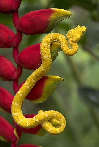 Golden Eyelash Viper on Lobster Calw Heliconia