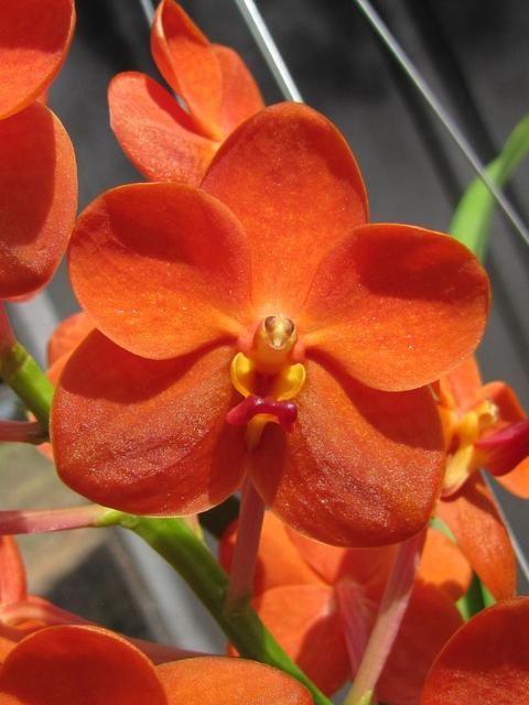 Ascocenda Yip Sum Wah 'RF Orchid' | Orchid - Vanda ...
