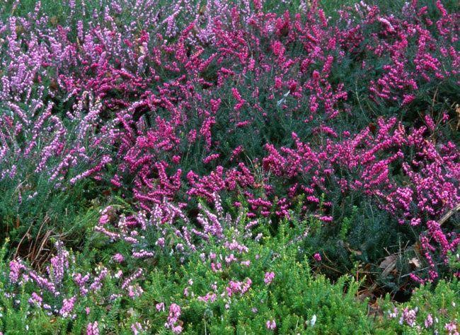 Plantes grimpantes, vivaces, arbres, arbustes et bulbeuses : sélection de végétaux, fleurs et bulbes pour un jardin d'ornement fleuri en hiver.