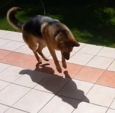 Funny German Shepherd Dog pounces on his shadow (VIDEO) » DogHeirs | Where Dogs Are Family « Keywords: Shadow, german shepherd dog