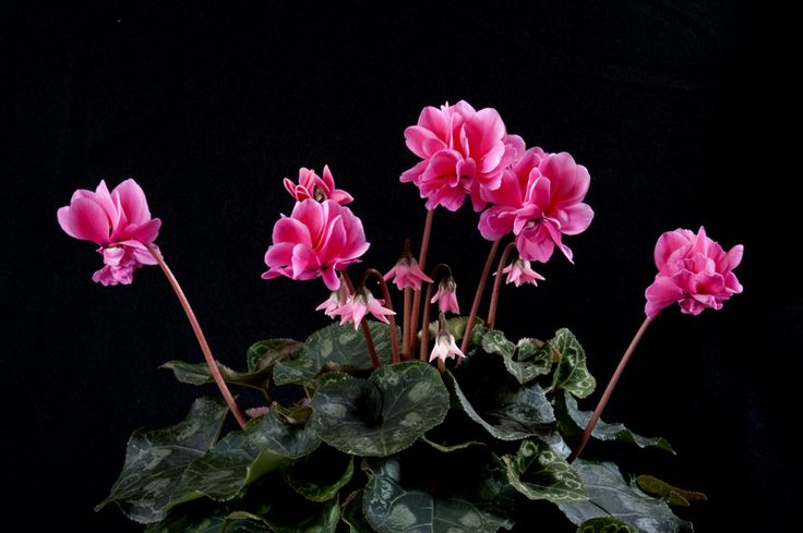 Be amazed by the cyclamen Masako