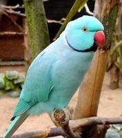 Blue indian ring-necked parakeet