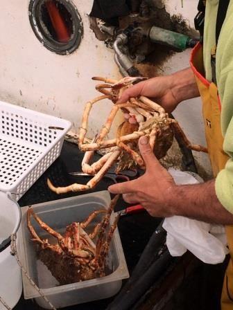 crabs on fisherman hands
