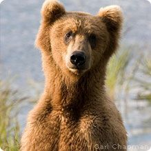 Grizzly Bears: Are large and range in color from very light tan (almost white) to dark brown. They have a dished face, short, rounded ears and a large shoulder hump The hump is where a mass of muscles attach to the bear's backbone and give the bear additional strength for digging. They have very long claws on their front feet that also give them extra ability to dig after food and to dig their dens.