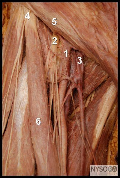 17 bästa idéer om femoral nerve på pinterest | sjukgymnastik och, Muscles