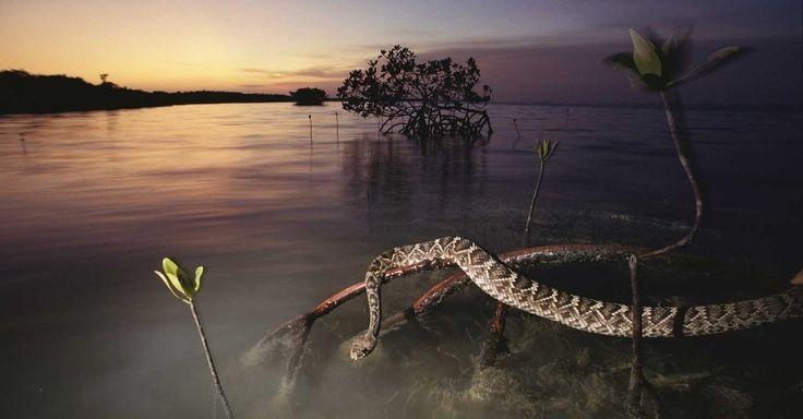 Uma Cascavel do Texas se esconde em uma mangueira, no Parque Nacional de Everglades, Flórida (EUA). Esta é a maior cobra venenosa da América do Norte, alcançando 1,6 m. Seu veneno é potente, mas raramente ataca humanos; quando ameaçada, chacoalha a famosa calda como aviso ao inimigo Chris Johns/National Geographic Creative