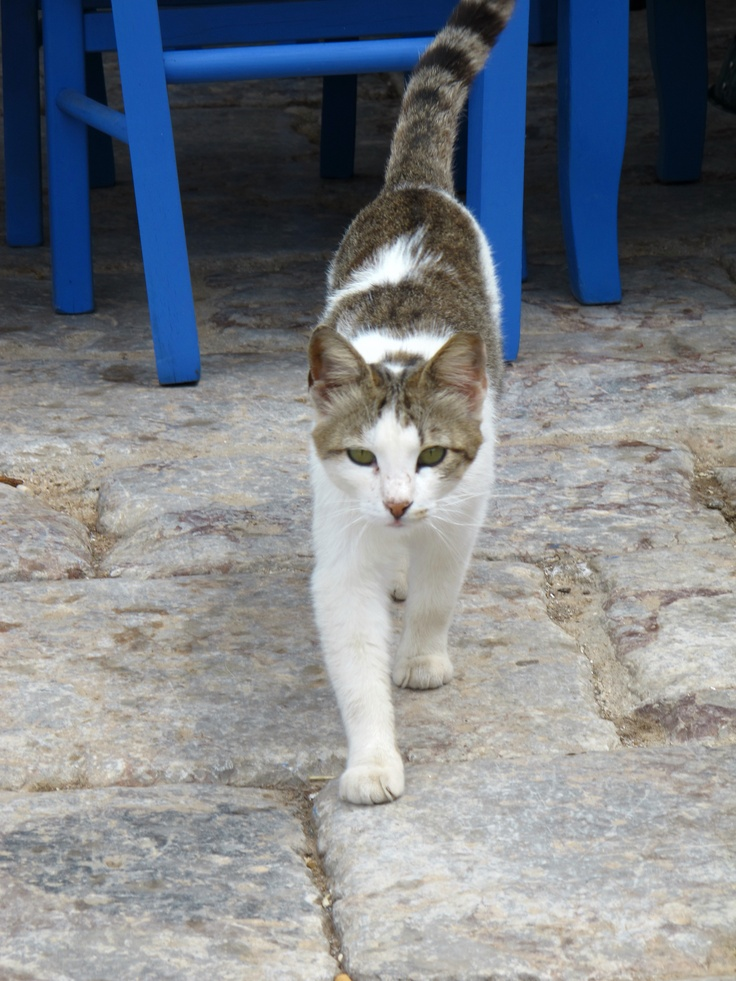 Greek Cat..