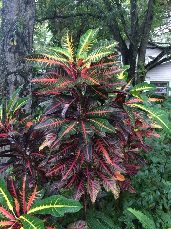 Croton In Florida Codiaeum Variegatum Known For Their