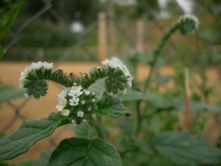 Egynyári növény, 10-40 cm magas, heverő, vagy felálló szárú, levele rövid szőröktől szürkés színű. Virága fehér, néha halványkékes, júniustól ősz végéig nyílik, jellegzetes kunkorodó füzérben.