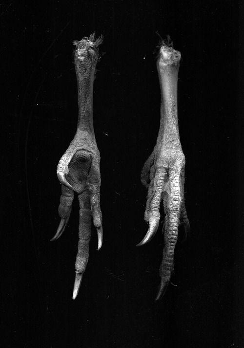 39 Best Talons And Bird Feet Images On Pinterest Animal