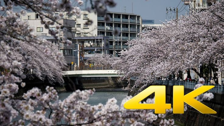 Ooka River Cherry Blossoms - Yokohama - 大岡川 - 4K Ultra HD