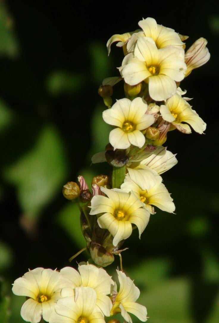 Sisyrinchium striatum at Bryngwyn