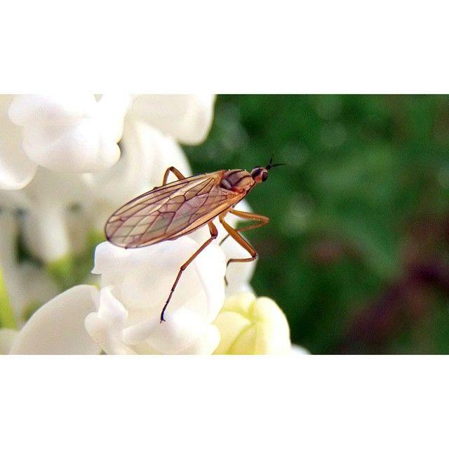 #nature #naturelovers #plant#bez#white #green #insect #beautiful #spring#photoshoot #garden#Poland #instagood#macro@instanature_789#lubiepolske