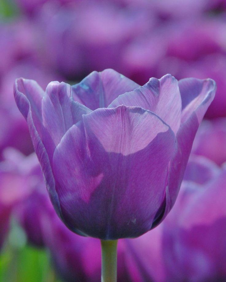 9 besten Tulips Bilder auf Pinterest | Tulpenzwiebeln, Pflanze und ...